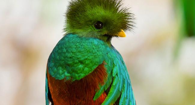 pajaro quetzal